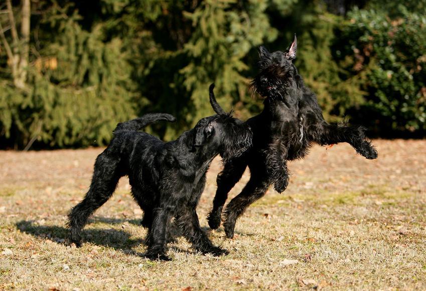Dwa psy rasy brodacz monachijski bawiące się na dworze, a także charakter i opis rasy