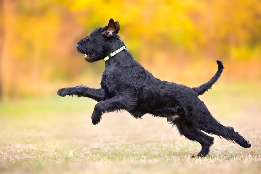 Pies rasy sznaucer olbrzymi biegający po dworze, a także opis rasy