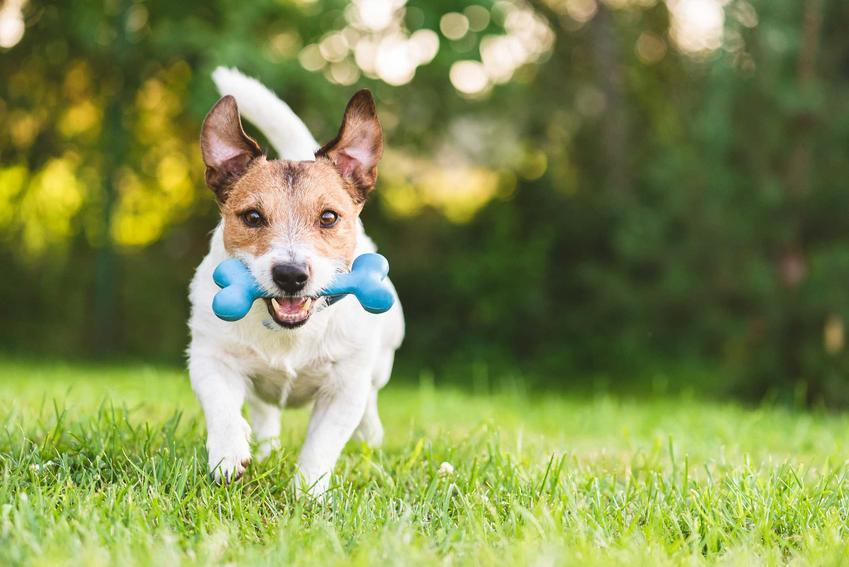 Mały pies bawiący się zabawką, a także zabawki, zabawy dla małych psów, pomysły i propozycje