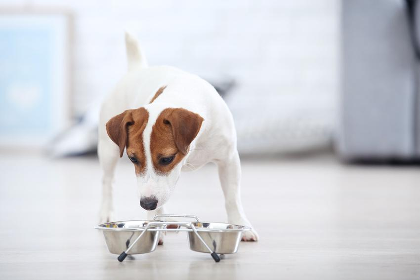 Pies przy misce z karmą, a także karma dla psa Eukanuba Dermatosis, jej rodzaje i dawkowanie