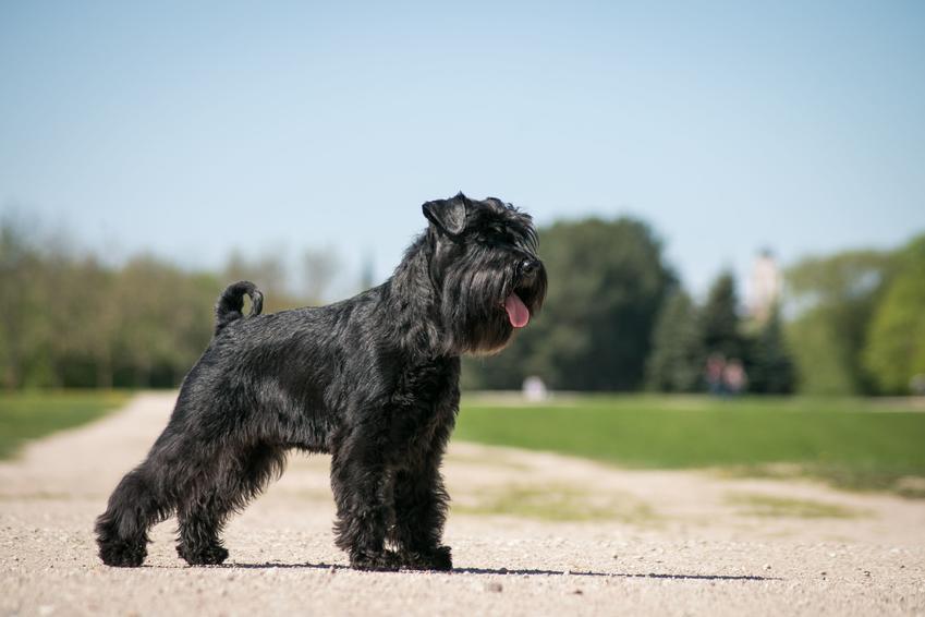 Pies sznaucer średni podczas spaceru na świeżym powietrzu oraz jego charakter i opis
