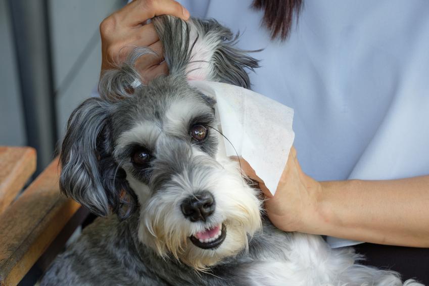 Pies sznaucer podczas czyszczenia uszu, a także schnauzer i jego opis