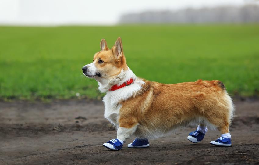 Pies w butach na tle zieleni, a także polecane buciki dla psa na zimę, rodzaje i ceny