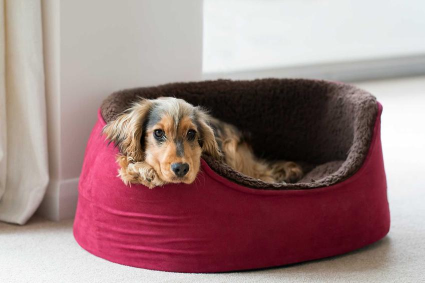 Pies leżący w legowisku przy drzwiach, a także najlepsze legowiska dla psów, rodzaje, optymalne wymiary oraz ceny