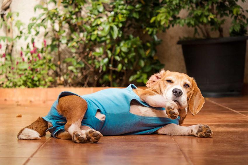 Pies beagle w ubranku pooperacyjnym leżący na ziemi, a także rodzaje, zastosowanie i ceny ubranek