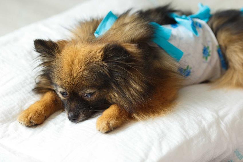 Maleńki piesek w ubranku pooperacyjnym, a także zastosowanie, rodzaje i ceny ubranek pooperacyjnych dla psów