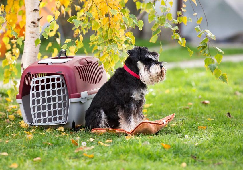 Transporter dla psa i niewielki sznaucer na trawie pod brzozą, a także rodzaje, producenci, ceny i wymiary transporterów