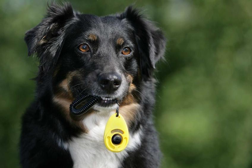 Pies niosący w pysku kliker, a także podstawowe infomrmacje: opinie, ceny, najważniejsze parametry oraz rodzaje