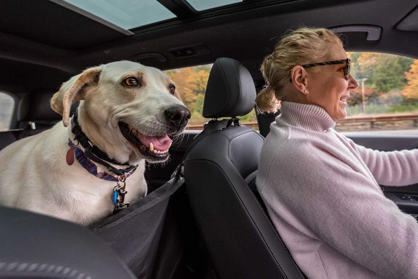 Pies siedzący w samochodzie w foteliku samochodowym dla psów, a także rodzaje fotelików i siedziska samochodowe dla psa