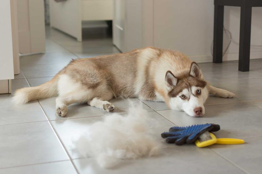 Rękawica do czesania psa na podłodze obok psa i kłębu sierści, a także rodzaje rękawic, ceny oraz praktyczne porady