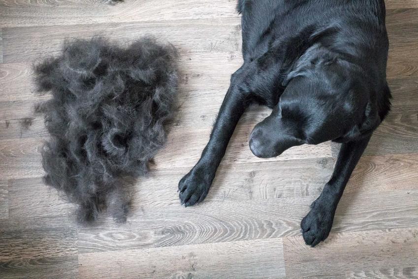 Pies wyczesany rękawicą do czesania psa obok kłębu sierści, a także ceny, rodzaje rękawic oraz praktyczne wskazówki