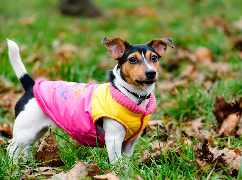 Mały piesek w różowej kurtce stojący na trawie, a także TOP5 ubranek dla psów, jak wybrać, rodzaje, materiały