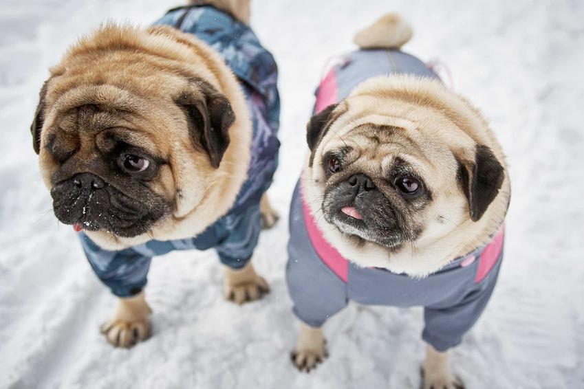 Dwa mopsy w ubrankach dla psów na śniegu, a także TOP5 ubranek dla psów krok po kroku