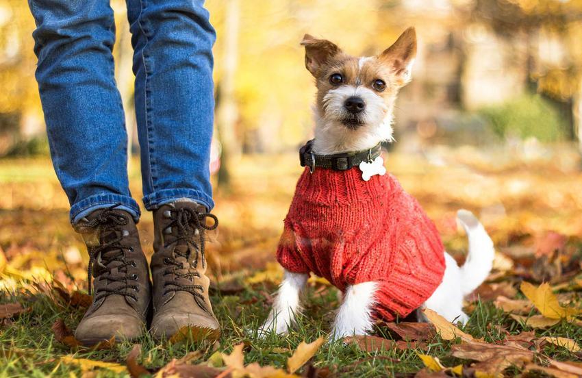 Jack Russel Terrier w sweterku dla psa w kolorze czerwonym podczas jesiennego spaceru, a także rodzaje, ceny i opinie dotyczące sweterków