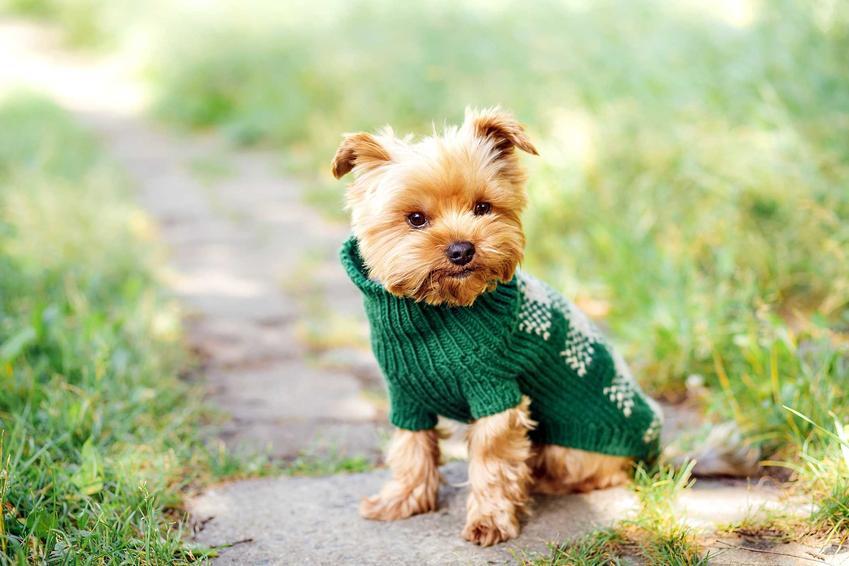 York w zielonym sweterku dla psa, a także rodzaje, ceny oraz opinie dotyczące sweterków dla psów