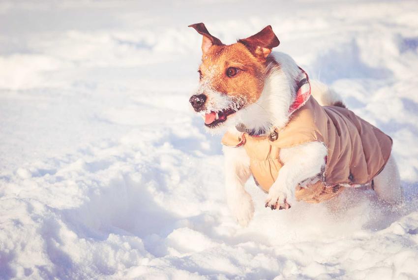 Jack Russel Terrier w kurtce dla psa w różowym kolorze biegający po śniegu, a także rodzaje i producenci kurtek dla psa