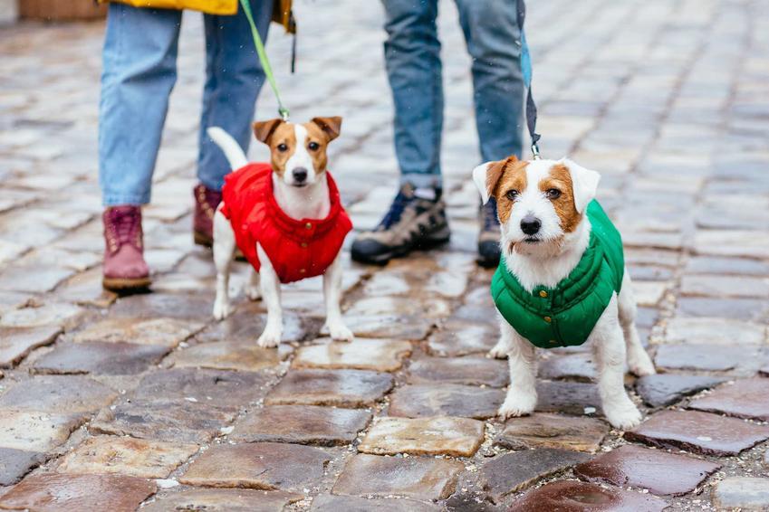 Dwa małe pieski w kurtkach dla psa na spacerze w mieście, a także rodzaje i producenci kurtek dla psa