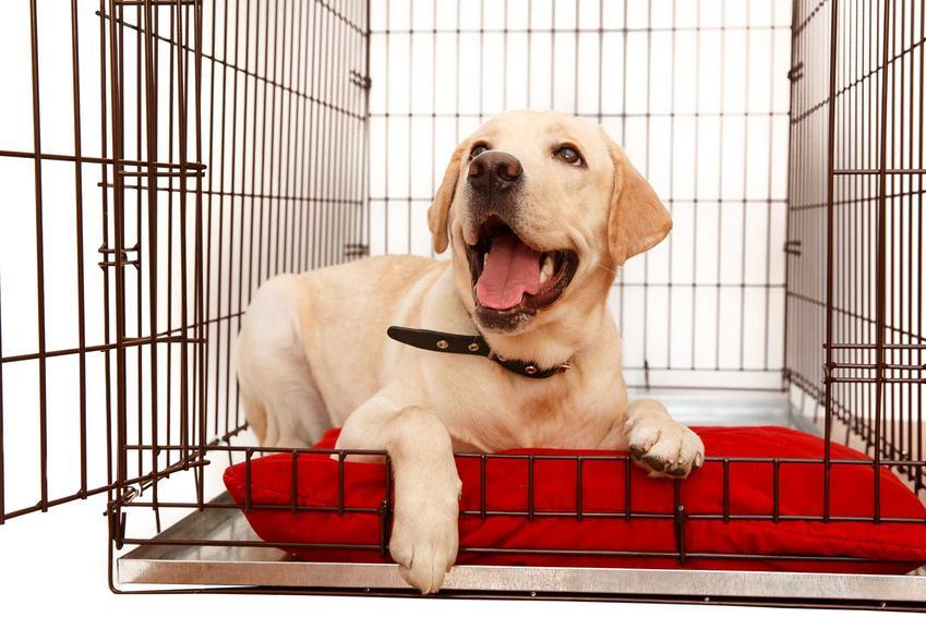 Golden Retriver w klatce kennelowej dla psa, a także opinie, wady i zalety, ceny oraz zastosowanie klatek kennelowych