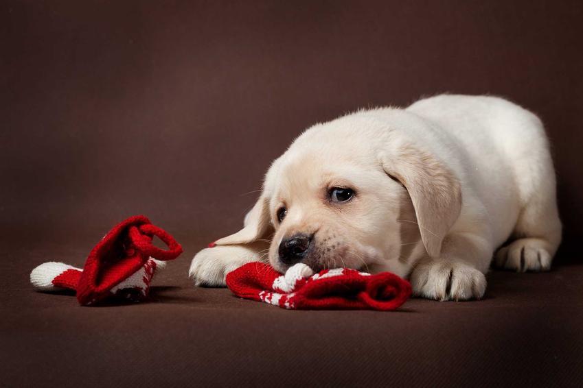 Szczeniaczek bawiący się skarpetkami dla psów, a także zastosowanie, rodzaje, opinie, ceny oraz porady dotyczące skarpetek