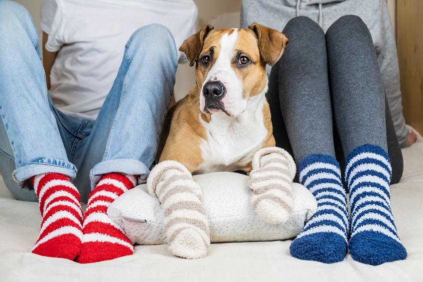 Pies w skarpetkach dla psów siedzący przy ludziach w podobnych skarpetkach, a także rodzaje skarpet dla zwierząt, opinie oraz porady