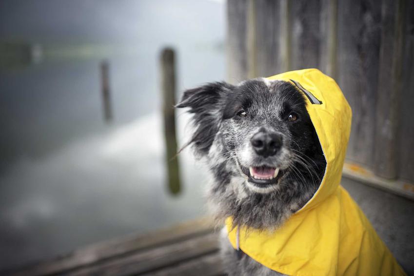 Pies w żółtym kubraczku z kapturem, a także rodzaje kubraczków dla psów, zastosowanie, opinie, ceny oraz samodzielne wykonanie
