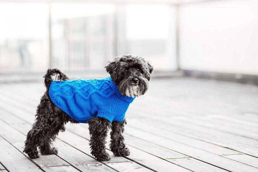 Mały terierr w ubranku w niebieskim kolorze, a także gdzie kupić tanie ubranka dla psów krok po kroku