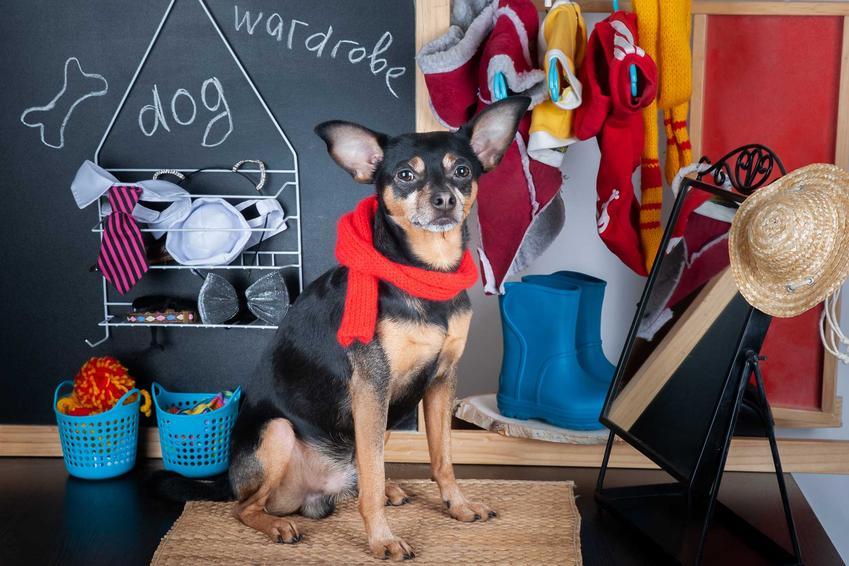 Pies siedzący przed lustrem przy różnych ubrankach, a także gdzie kupić najtaniej ubranka dla psa