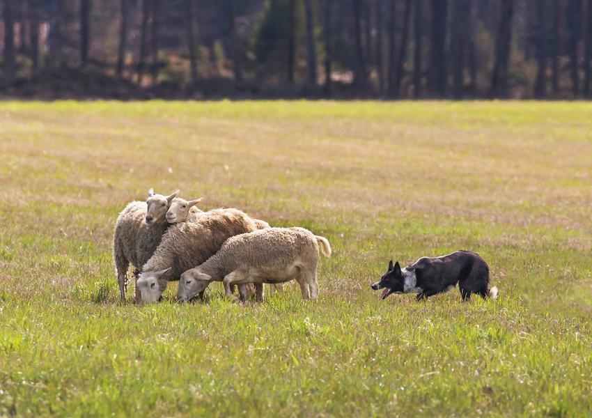 Pies rasy border collie podczas zaganiania owiec i inne rasy psów pasterskich
