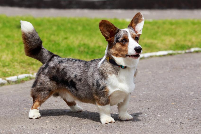 Pies rasy welsh corgi na trawie podczas spaceru i inne rasy psów pasterskich