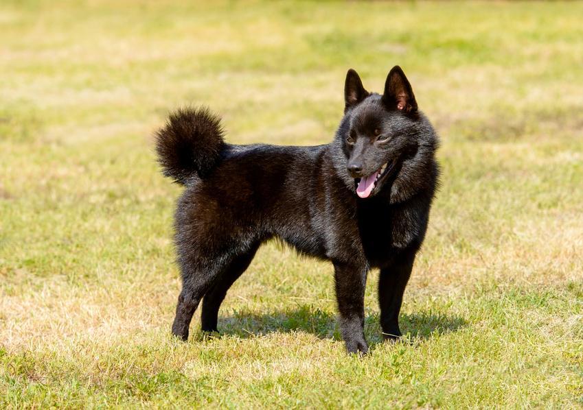 Pies rasy schipperke stojący na trawie i inne rasy psów pasterskich
