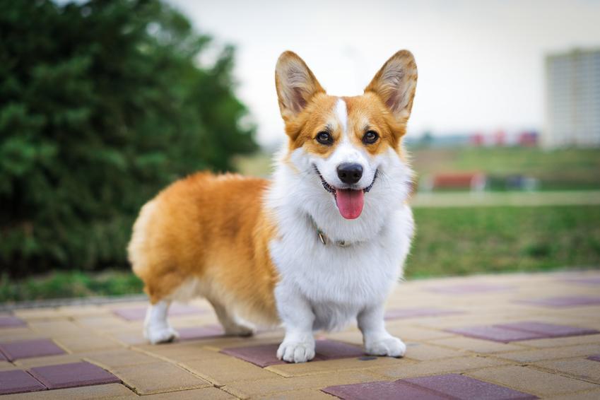 Pies rasy welsh corgi podczas spaceru i inne rasy psów pasterskich