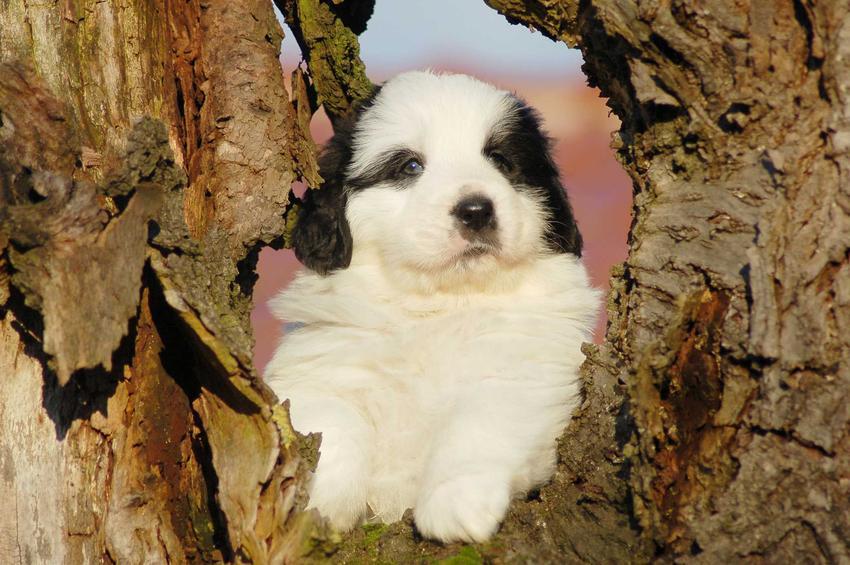 Szczenię mastifa pirenejskiego w dziupli drzewa, a także charakter, opis, zdjęcia oraz porady