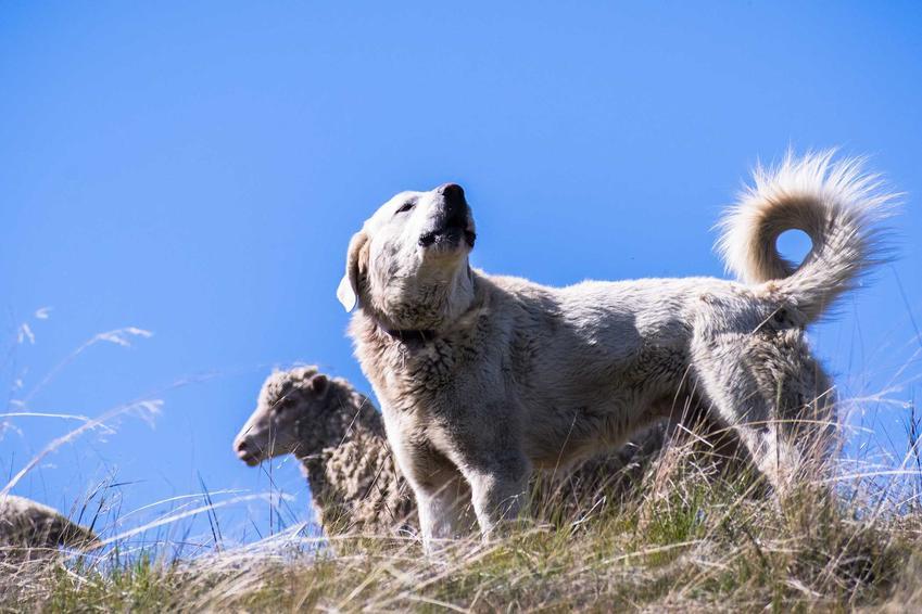 Pies akbash dog na wzgórzu, a także opis, charakter, pochodzenie oraz wymagania dotyczące tego psa i cena szczeniat