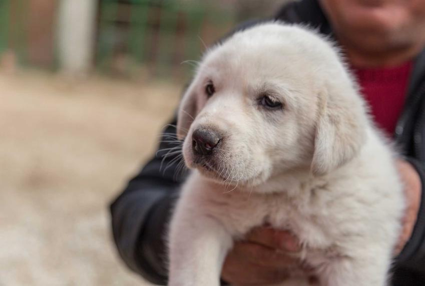 Szczenię psa rasy akbash dog, a także opis, charakter, pochodzenie rasy i wymagania