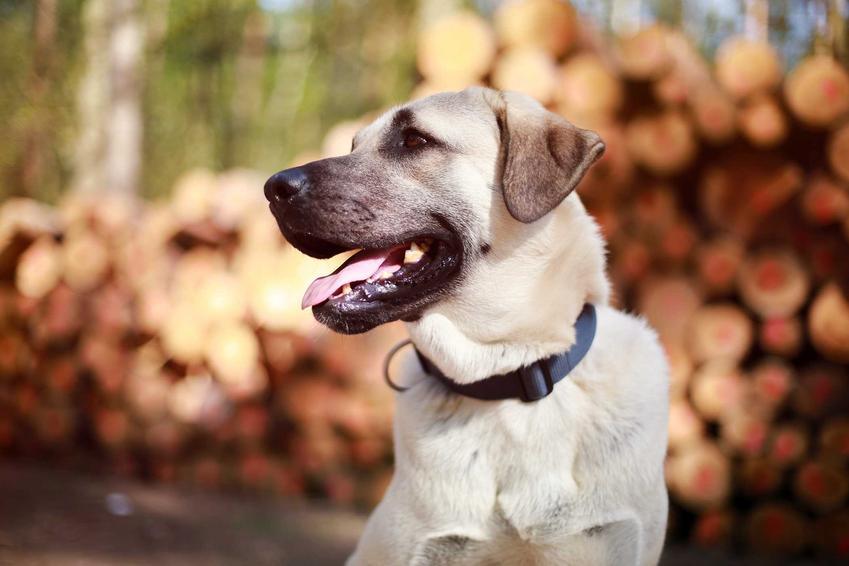 Pies kangal na dworze na tle drewna, a także jaka jest cena psy rasy kangal w hodowli