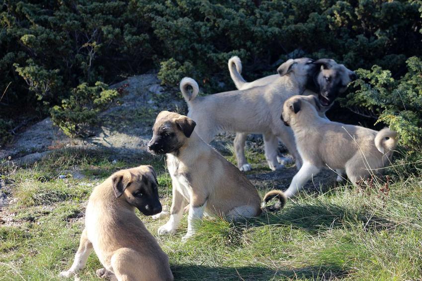 Szczenięta psa rasy kangal, a także cena kangala - koszt szczeniat, hodowle oraz opinie