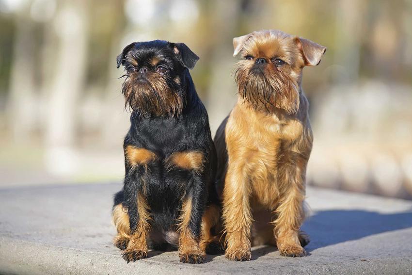 Dwa psy rasy gryfonik belgijski, jeden o czarnej, drugi o brązowej sierści, a także opis, usposobienie oraz pielęgnacja psów
