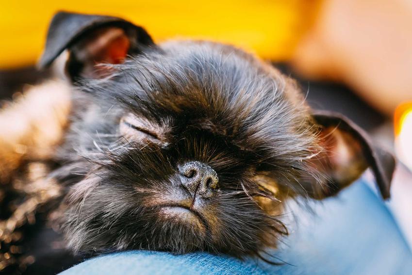 Małe szczenię gryfonika belgijskiego śpiące na ramieniu właściciela, a także ceny psów rasy gryfonik belgijski
