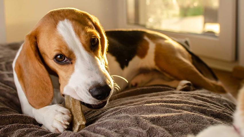 Pies beagle gryzący kość dla psa na łóżku, a także jaka jest najlepsza kość dla psa krok po kroku, rodzaje i wielkości
