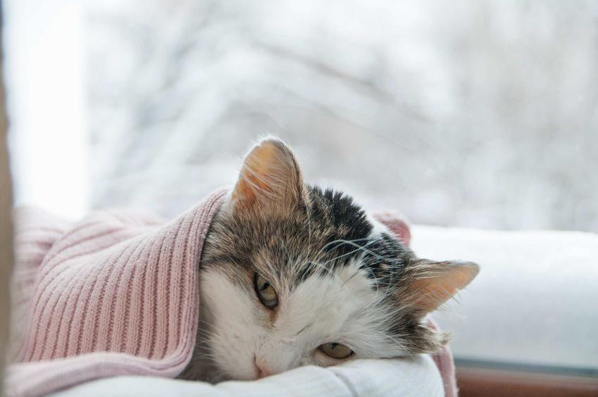 Kot leżący pod kocykiem, cierpiący na katar, a także objawy kataru, leczenie, rozpoznawanie, zapobieganie i domowe spoosby