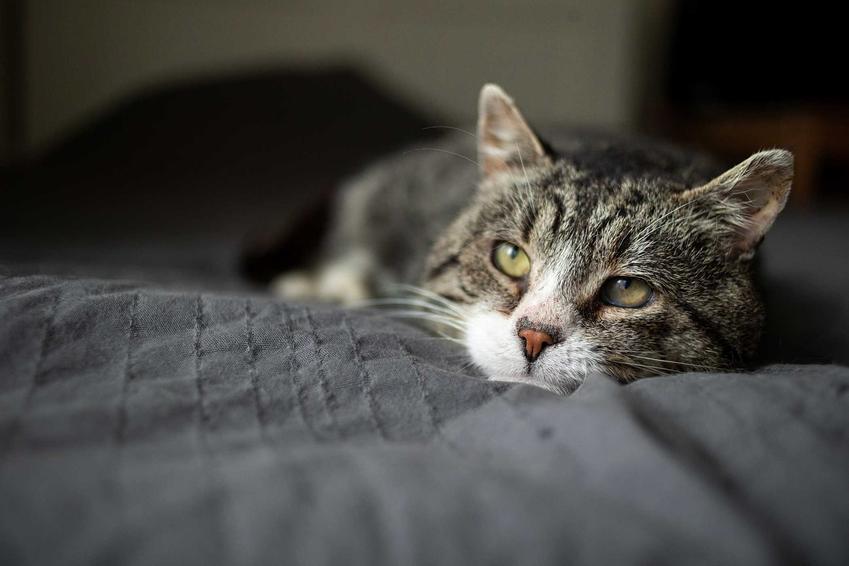 Smutny kot leżący na łóżku, a także leczenie, rozpoznawanie i zapobieganie katarowi u kota
