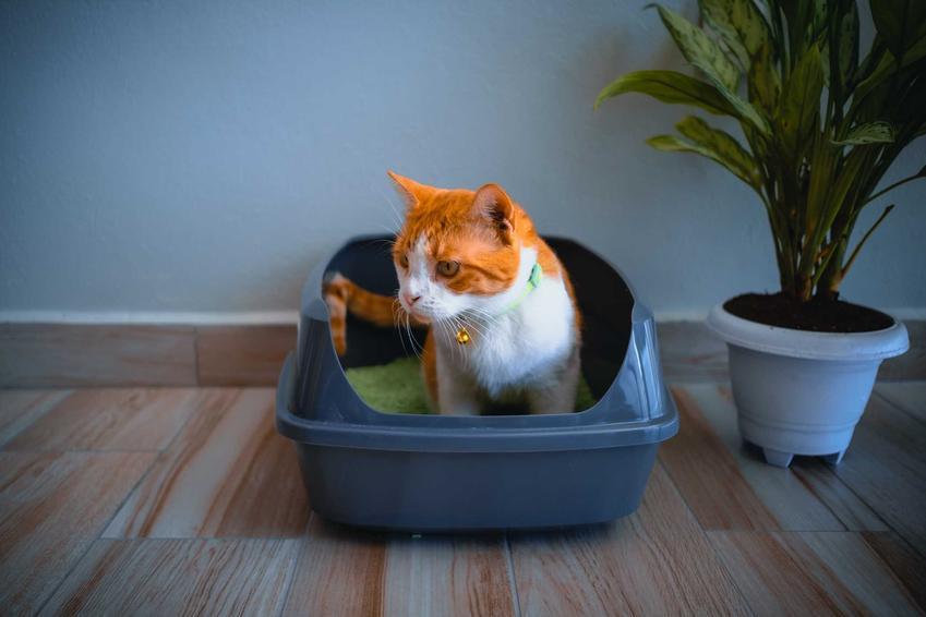 Rudo-biały kot siedzący w kuwecie, a także rozwolnienie u kota krok po kroku, czyli przyczyny, leczenie, profilaktyka, zapobieganie, zastosowanie diety
