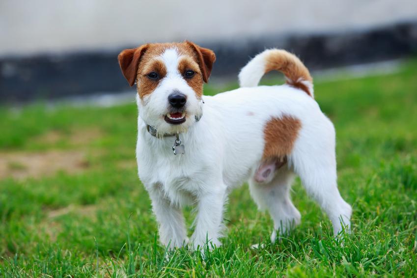 Pies rasy Jack Russel terier na trawniku, a także inne miniaturowe rasy psów