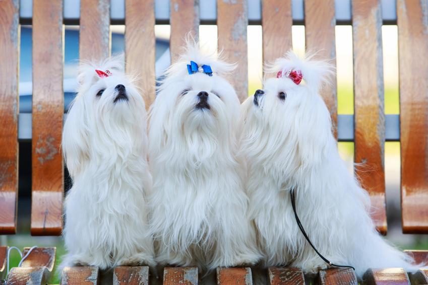 Psy rasy maltańczyk z kolorowymi kokardkami, a także inne miniaturowe rasy psów