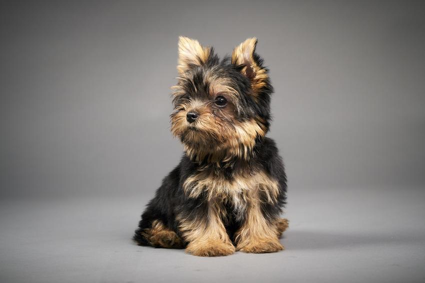 Pies rasy Yorkshire terier na szarym tle, a także inne miniaturowe rasy psów