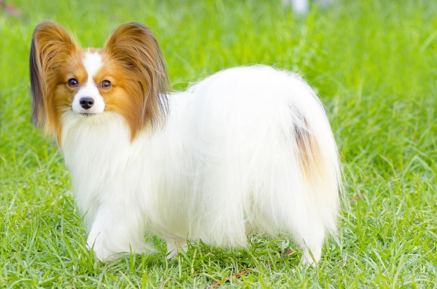 Pies rasy papillon stojący na trawniku, a także inne miniaturowe rasy psów