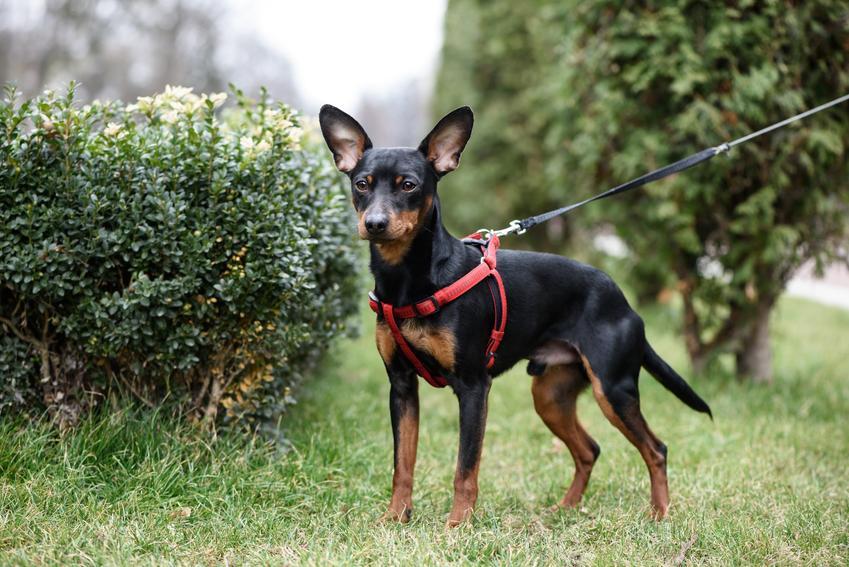 Pies rasy pinczer miniaturowy w ogrodzie na tle krzewów, a także inne miniaturowe rasy psów
