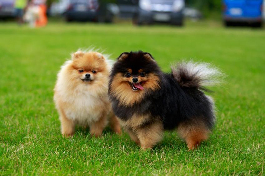 Psy rasy pomeranian stojące na trawniku, a także inne miniaturowe rasy psów