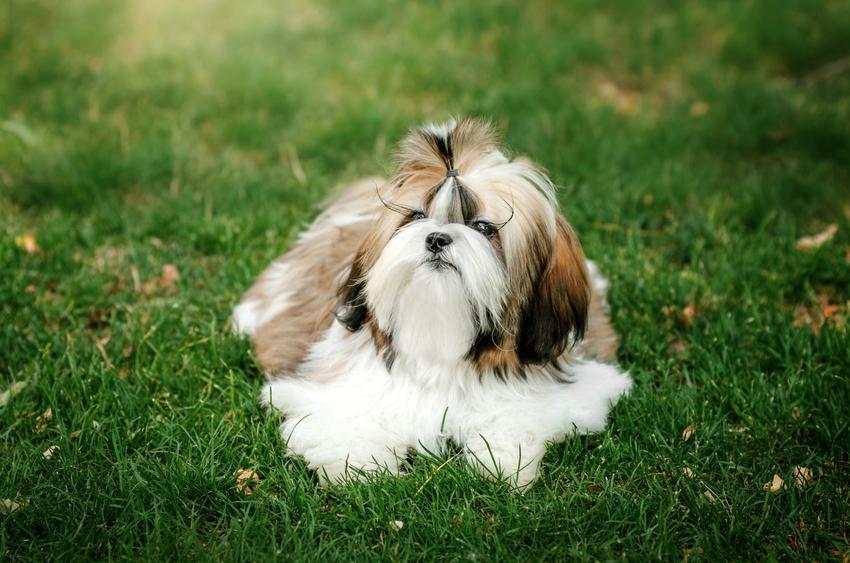 Pies rasy shih-tzu na tle trawnika, a także inne miniaturowe rasy psów
