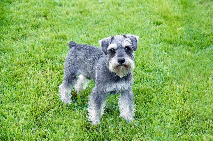 Pies rasy sznaucer miniaturowy na trawie, a także inne miniaturowe rasy psów